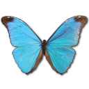 Morpho Absoloni Sticker