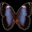 Morpho Achilleana Sticker
