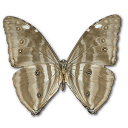 Morpho Adonis Huallega Bottom Sticker