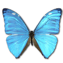 Morpho Adonis Huallega Top Sticker
