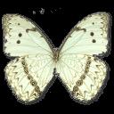 Morpho Catenarius Underside Sticker