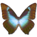 Morpho Cissis Sticker