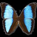 Morpho Deidamia Neoptolomous Sticker