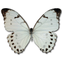 Morpho Luna Male Sticker