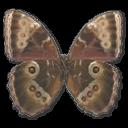 Morpho Peleides Montezuma Underside Sticker