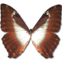 Morpho Phano Blue Sticker
