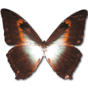 Morpho Phano Red Sticker