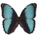 Morpho Pseudogamedes Sticker